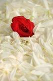 Uma cama para uma rosa Fotografia de Stock Royalty Free