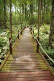 Uma caminhada na floresta dos manguezais imagens de stock royalty free
