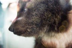 Uma cara de um fim do filhote de urso acima Foto de Stock Royalty Free
