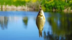 Uma carpa pequena travada em uma vara de pesca fotografia de stock