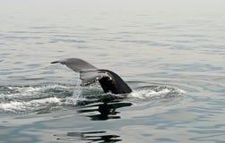 Uma cauda das baleias Foto de Stock