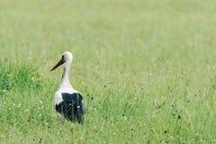 Uma cegonha branca que anda em um campo com grama verde fresca Fotos de Stock Royalty Free