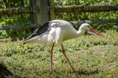 Uma cegonha branca que leva uma pena no bico fotografia de stock royalty free