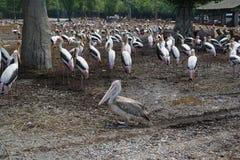 Uma cegonha de marabu em Safari World Fotografia de Stock