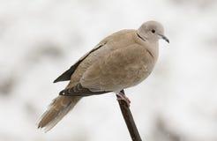 Uma cena do inverno de um decaocto colocado um colar aturdindo do Streptopelia da pomba empoleirou-se em um ramo que procura o al Foto de Stock Royalty Free