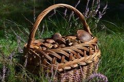 Uma cesta completamente de boletes deliciosos da baía Fotografia de Stock