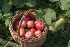 Uma cesta das maçãs e do abobrinha fotos de stock royalty free