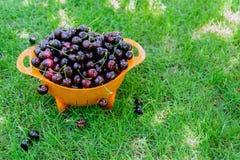 Uma cesta de cerejas doces maduras nos raios de luz solar na grama verde Sobremesa deliciosa do verão generoso imagens de stock royalty free