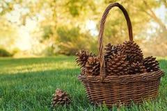 Uma cesta de cones do pinho Fotos de Stock