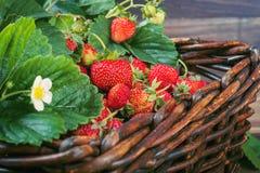 Uma cesta de morangos frescas Foto de Stock Royalty Free