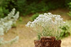 Uma cesta dos edelvais floresce fora Imagens de Stock