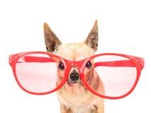 Uma chihuahua bonito com os óculos de sol cor-de-rosa e vermelhos gigantes no isolado Fotografia de Stock Royalty Free