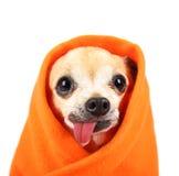 Uma chihuahua bonito com sua língua que penduram para fora e um wrapp geral Foto de Stock