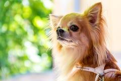 Uma chihuahua bonito pequena Imagens de Stock