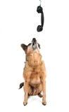 Uma chihuahua bonito que fala no telefone fotografia de stock