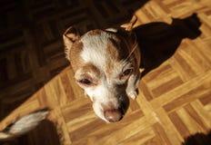 Uma chihuahua de Pouty foto de stock royalty free