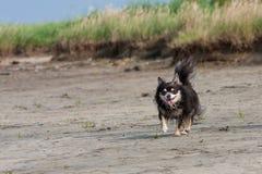 Chihuahua Fotografia de Stock Royalty Free