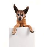 Uma chihuahua que guarda um sinal vazio fotos de stock royalty free