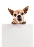 Uma chihuahua que guarda um sinal vazio fotos de stock