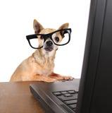 Uma chihuahua que surfa o Internet em um portátil fotos de stock