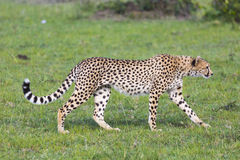Uma chita (jubatus do Acinonyx) no Masai Mara National Reserve foto de stock royalty free