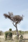 Uma chita que descansa em uma árvore com uma rapina manteve-se no outro ramo Imagem de Stock