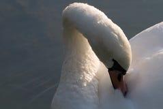 Uma cisne foto de stock