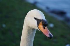 Uma cisne Fotografia de Stock