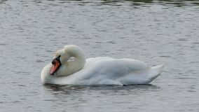 Uma cisne branca bonita nada em um lago e limpa a pena vídeos de arquivo