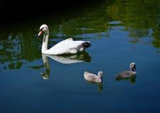 Uma cisne com bebês está nadando no lago da cidade foto de stock royalty free