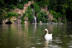 Uma cisne de flutuação no lago foto de stock royalty free