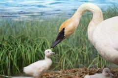Uma cisne de trompetista e seus cisnes novos Fotos de Stock