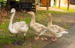 uma cisne de trompetista nova em florida fotos de stock