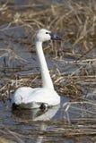 Cisne de tundra em um pantanal Fotos de Stock Royalty Free
