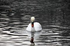Uma cisne em uma estadia de inverno Países Baixos do lago Fotos de Stock Royalty Free