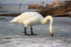 Uma cisne está comendo Fotos de Stock