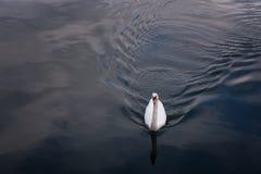 Uma cisne está nadando no lago de Hallstatt, Áustria Foto de Stock Royalty Free