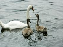 Uma cisne muda branca que alimenta seus cisnes novos cobre do rio fotografia de stock