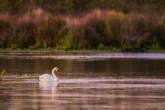Uma cisne muda nada no por do sol foto de stock