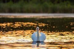 Uma cisne muda no lago dourado no por do sol fotografia de stock royalty free