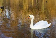 Uma cisne na água rippled com reflexões outonais da árvore Foto de Stock Royalty Free