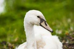 Uma cisne na costa Fotografia de Stock