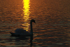 Uma cisne no lago Foto de Stock Royalty Free