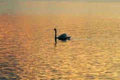 Uma cisne no lago imagem de stock