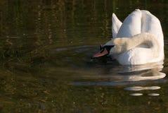 Uma cisne no lago fotografia de stock royalty free