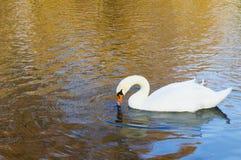Uma cisne no lago com reflexões no outono Fotos de Stock