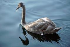 Uma cisne nova nada ao longo do rio Reflexão de um pássaro na água Fotos de Stock Royalty Free