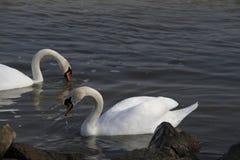 Uma cisne nova nada calmamente na água imagem de stock royalty free