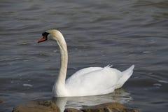 Uma cisne nova nada calmamente na água fotos de stock royalty free