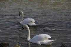 Uma cisne nova nada calmamente na água imagens de stock royalty free
